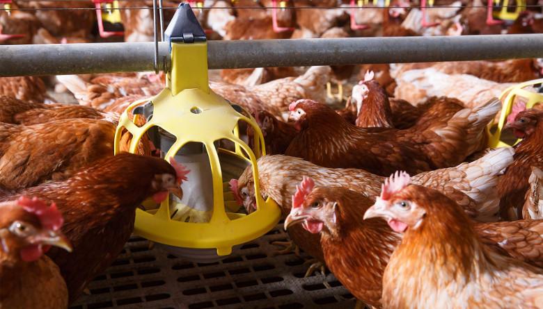 Anuario 2017; la avicultura se mostró pujante, fortalecida y desafiante