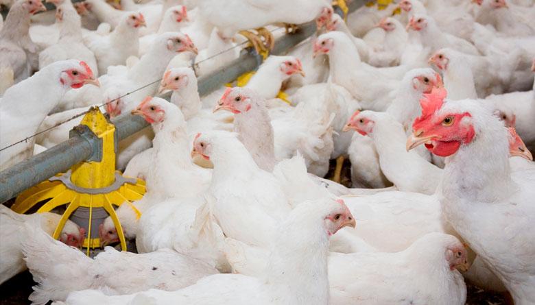 Evaluación del efecto de Fumonisinas (FB1) y Aflatoxinas (AFB) sobre hemograma, enzimas hepáticas y colesterol en pollos de engorda desafiados con una cepa entero - invasiva de Escherichia coli