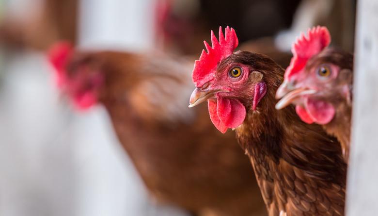 Coriza Infecciosa en pollo de engorda y gallinas de postura