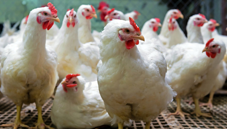 Absorción y depósito de xantofilas en pollos de engorda desafiados con tres diferentes niveles de ooquistes de Eimeria acervulina