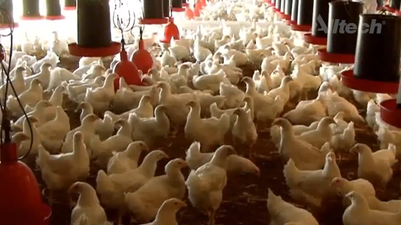 Control de olores en las explotaciones avícolas