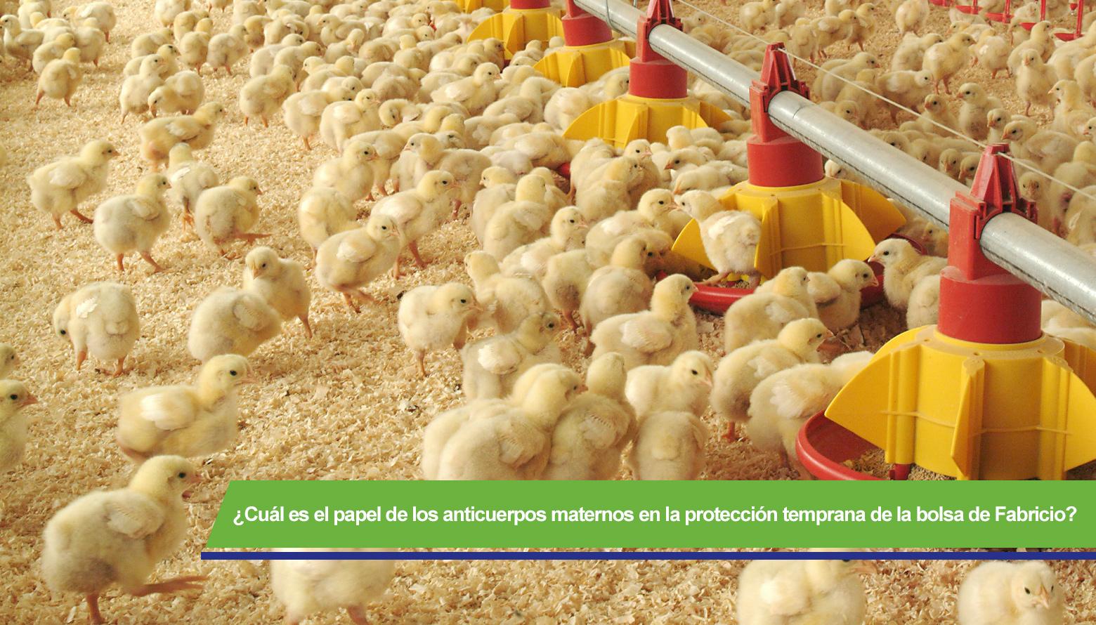 ¿Cómo proteger a los pollos de la enfermedad infecciosa de la bolsa?