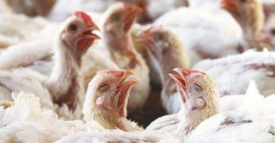 Continúan los brotes de Influenza Aviar en México